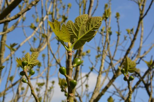 fig tree fig leaves