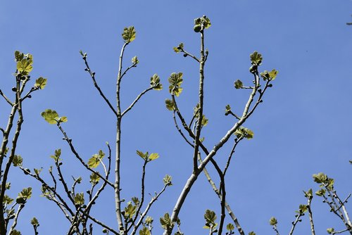 fig tree  branches of a fig tree  fig leaves