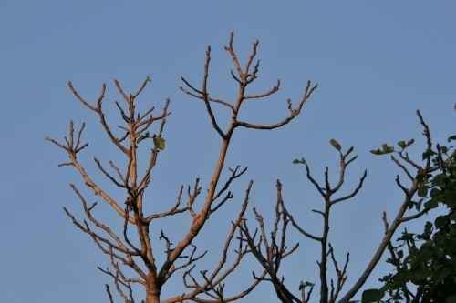 Fig Tree Top In Sun