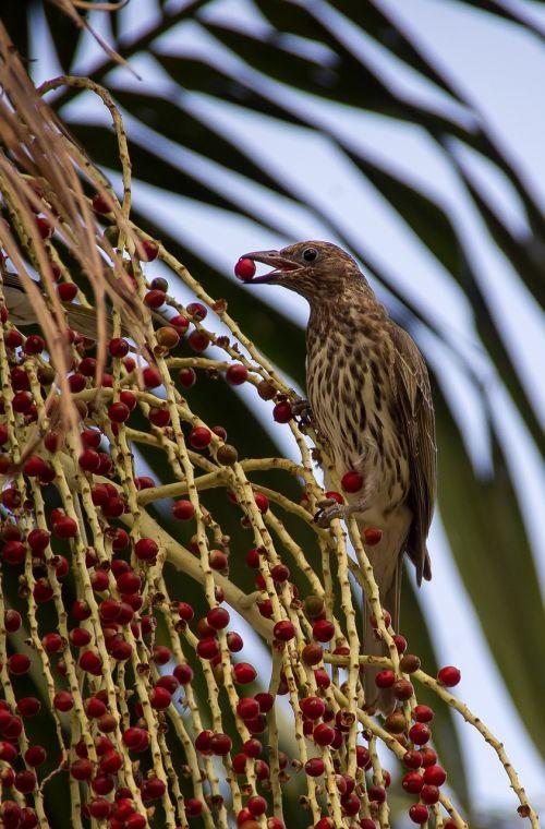 figbird bird sphecotheres vieilloti
