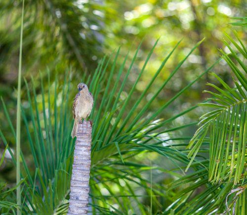 figbird sphecotheres vieilloti townsville region
