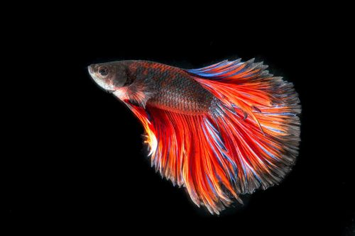 fighting fish fish three color