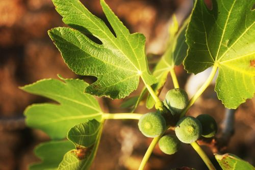 figs fig tree plant