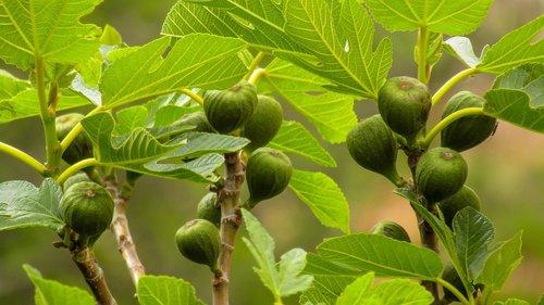 figs  food  fruit wild
