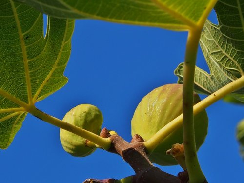 figs  tree  fruits