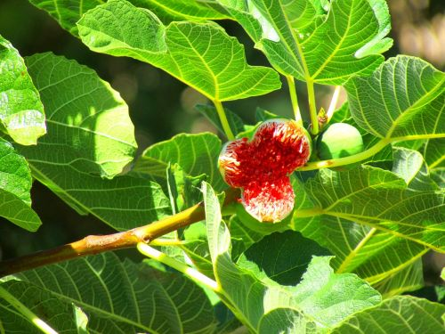 figs fig tree fig fruit
