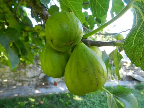 figs fruit fig tree