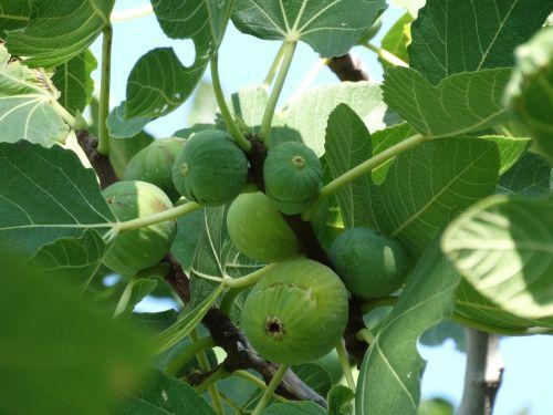 figs smokin fruit