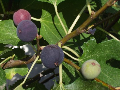 figs fig tree fruits