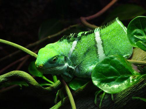 fiji iguana iguana banded