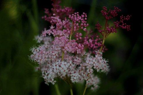 filipendula purpurea  moerasspirea  garden plant