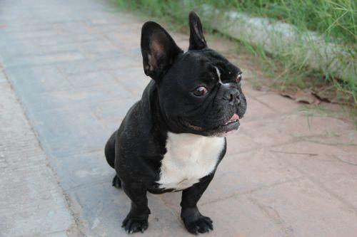 filippo bulldog french