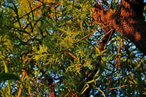 Fine Flowers Of Karee Tree