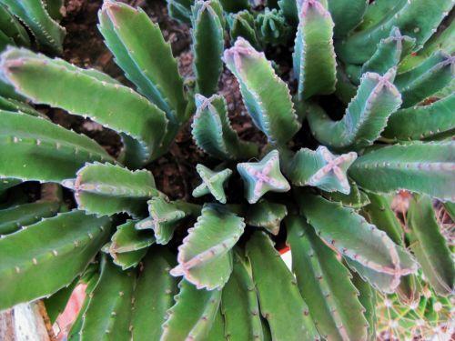 Finger Cactus Plant