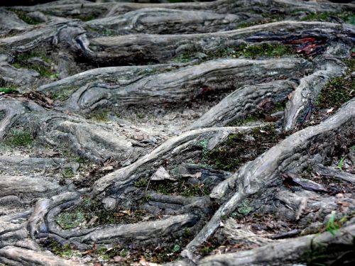 Fingerlike Tree Roots