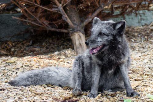 finja arctic fox alopex lagopus