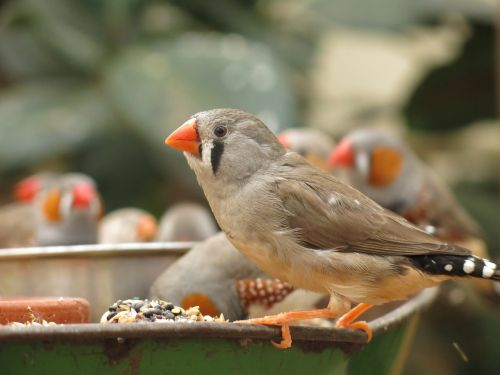fink bird animal