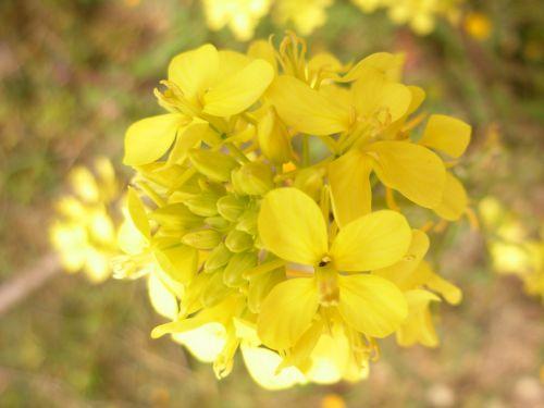 Flowers Of Mustard