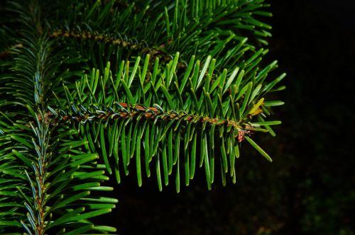 fir pine needles periwinkle