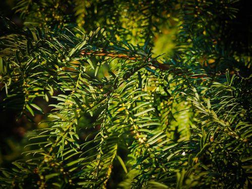 fir branches tannenzweig
