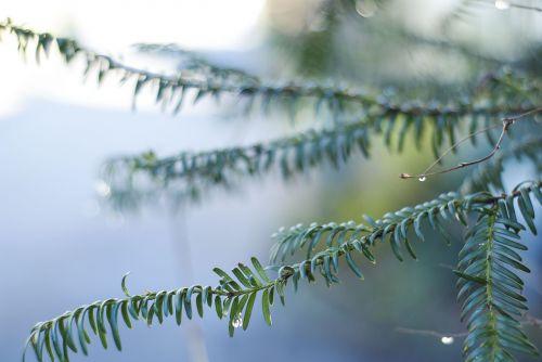 fir drip nature