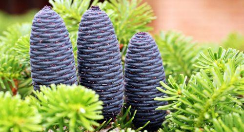 fir pine cones tap blue