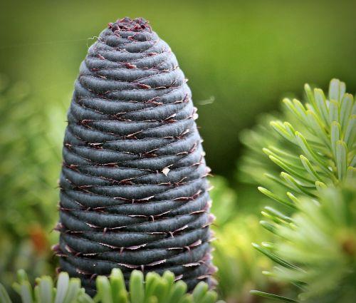 fir pine cones blue tap