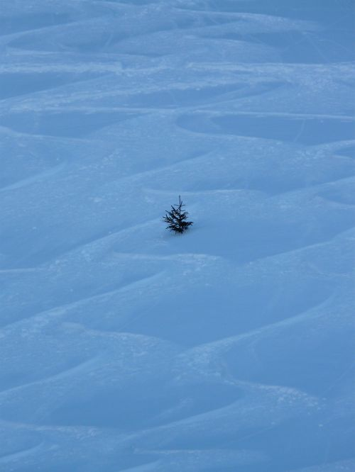fir tree wintry