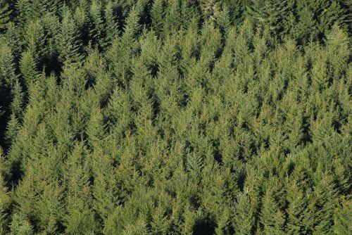 fir coniferous pine