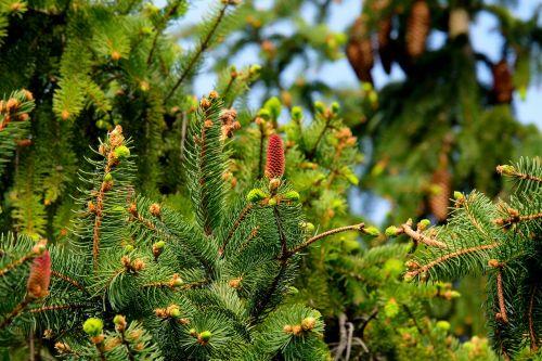 fir christmas tree tree