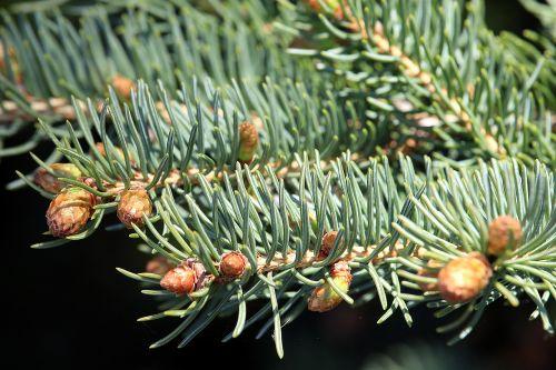 fir plant nature