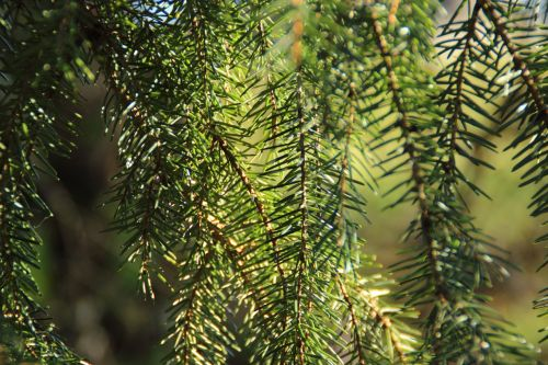 fir needles pine needles