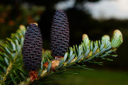 fir tannenzweig pine cones
