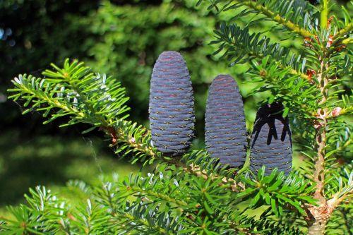 fir tap pine cones