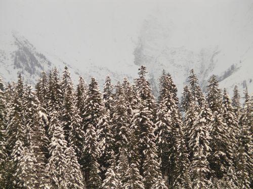 fir firs snowy