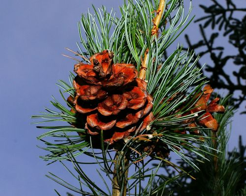 fir pine cones tannenzweig