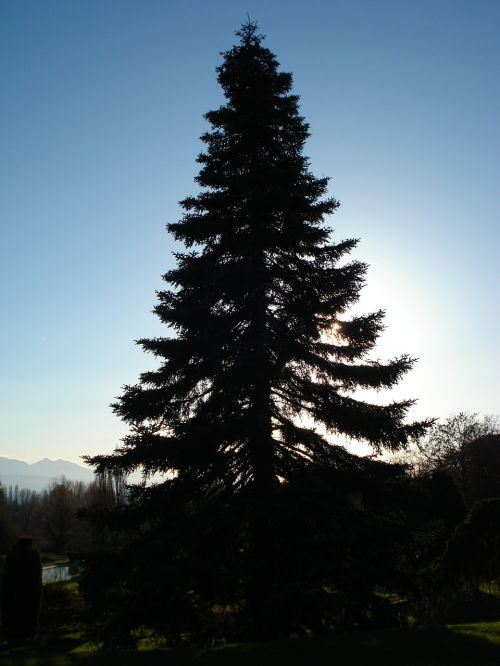 fir nature trees