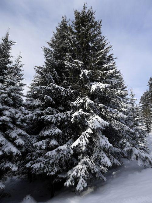 fir snow snowy
