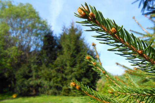 fir green tannenzweig