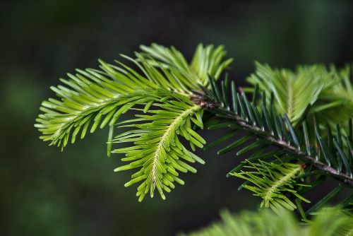 fir fir needle gałąż fir