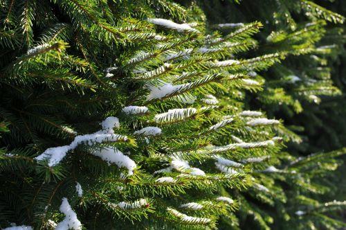 fir spruce branches