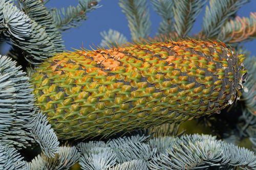 fir pine cones huge