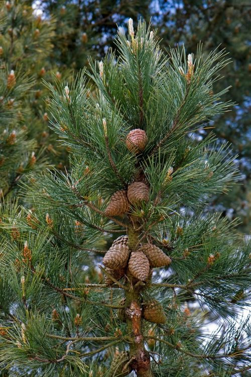 fir cones fir cone fir tree