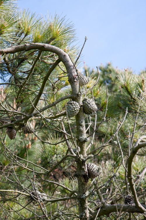 Fir Cones On Tree
