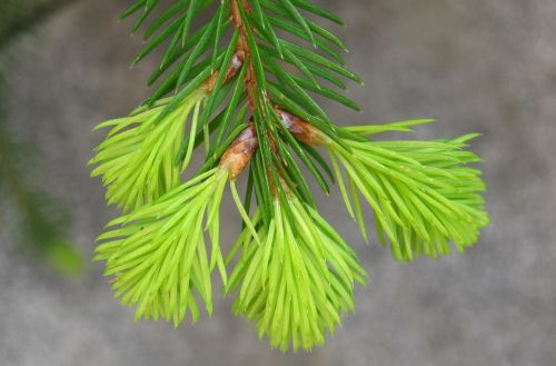 fir drove spring fir grows