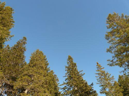 fir forest fir tree