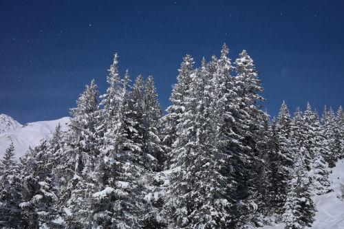 fir forest firs winter