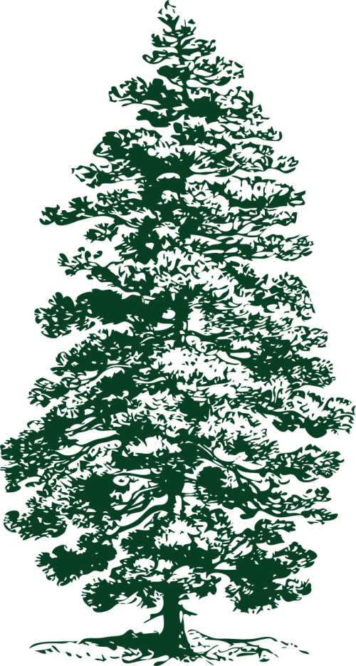 fir tree conifer fir