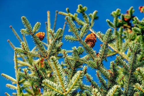 fir tree  tree  nature