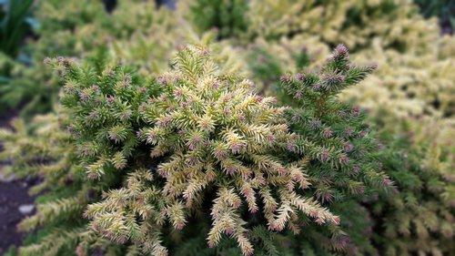 fir tree  garden  abstract images